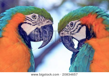 Parrots twin brothers