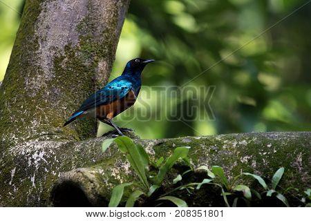 Little Superb starling bird close-up on a tree  in a jurong birds park.