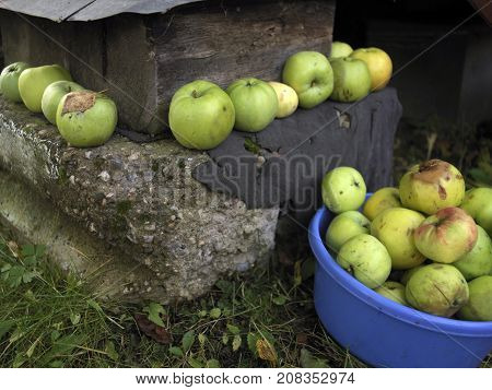 Ripe apples and food bowl full of apples laid on the concrete basement outdoor closeup shot