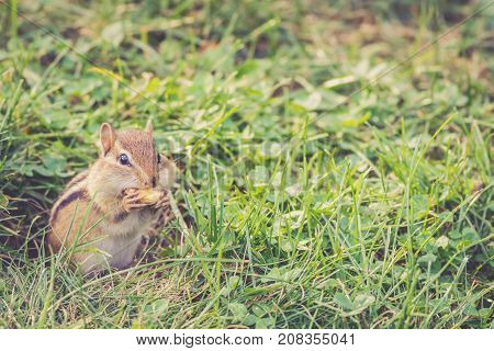 Eastern Chipmunk (Tamias Striatus) eats a nut in vintage setting