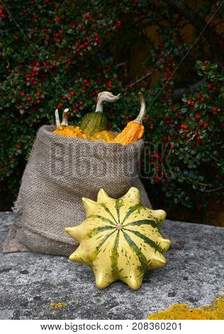 Crown Of Thorns Gourd With Sack Of Ornamental Squashes