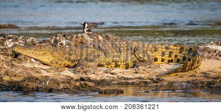 Portrait of beautiful yellow golden nile crocodile laying on rocks on Zambezi river at Katima Mulilo, Namibia, Southern Africa.