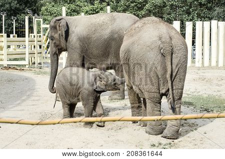 Elephant family in a zoo in the nature of three animals