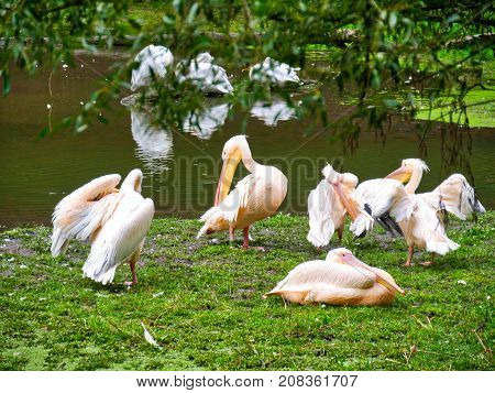 Group of pelicans at the lake in Safari