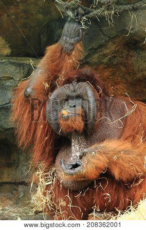 Orangutan Eating Vegetable
