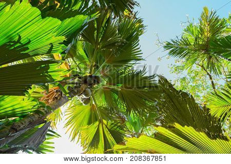 A view from below upwards on the  Coco de Mer palm trees. The Vallee De Mai palm forest, Praslin island, Seychelles.