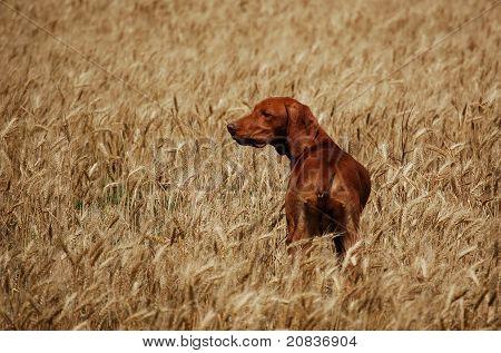 Deerhound in the corn