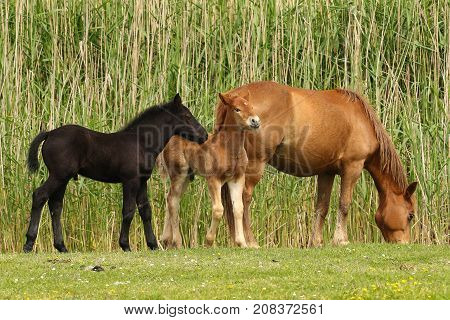 Mare and two foals black and sorrel grazing
