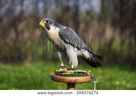 Young Falco peregrinus calidus artic falconon perch