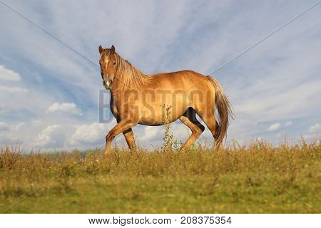 Wild Sorrel horse is galloping on floral meadow over cloudy sky
