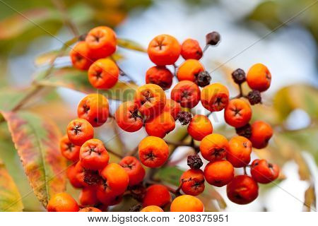 Autumn colors concept. Bright colorful mountain ash rowan berries. Soft focus blurred background photography