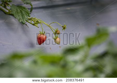 Soft focus Ripe and unripe strawberries growing on the farm. fresh strawberry in the garden.