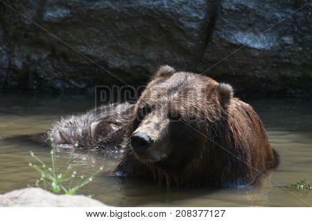 Front view of a wild peninsular bear bathing itself