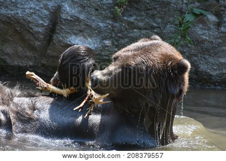 Wild brown bear bathing in the water with a tree branch
