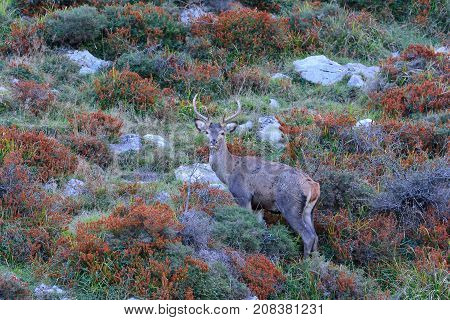 Red deer stag during the rut in autumn started the deer rut.