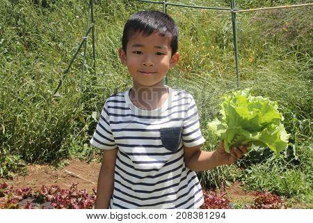 Japanese Boy Picking Lettuce (first Grade At Elementary School)