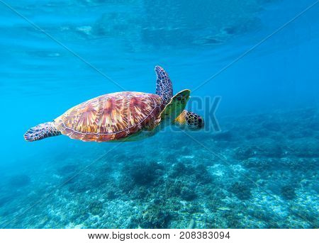 Sea turtle swims in sea water. Big green sea turtle closeup. Life of tropical coral reef. Marine tortoise undersea. Tropic seashore ecosystem. Big turtle in blue water. Aquatic animal underwater photo