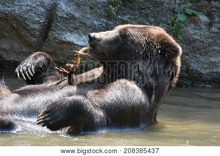 Brown bear bathing and nibbling on a tree branch