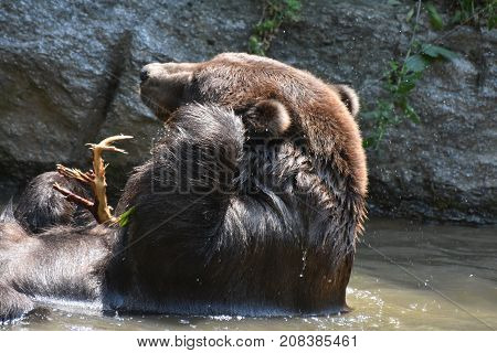 Brown grizzly cleaning its ear with it's paw while bathing in the wild