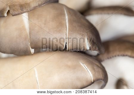 oyster mushrooms as a background. close-up . In the park in nature