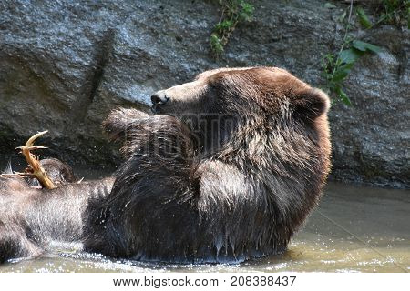 Wild brown grizzly holding its paw in the air while floating in the water