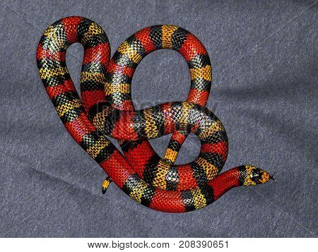 Red and Yellow striped snake on grey background rare
