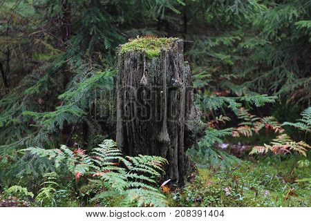 Soul of the woods, old stump at the dense forest, among the conifers and fern leaves