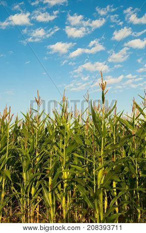 Green Plants Corn Growing On Agricultural Field On Blue Sky In Summer Sunny Day. Bottom View.