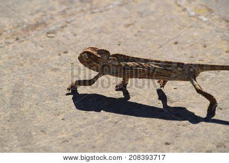 Chameleon walking in the sun in Malta countryside