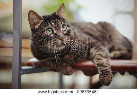 The beautiful striped domestic cat lies on a chair