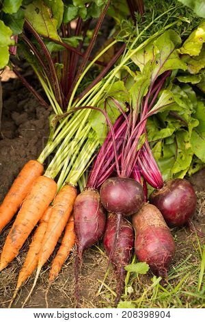Carrot And Beet. Fresh Ripe Vegetable Of Carrots And Beets On Natural Ground Top View. Seasonal Harvest.