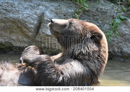 Wild brown silvertip grizzly looking up into the sunlight to warm up