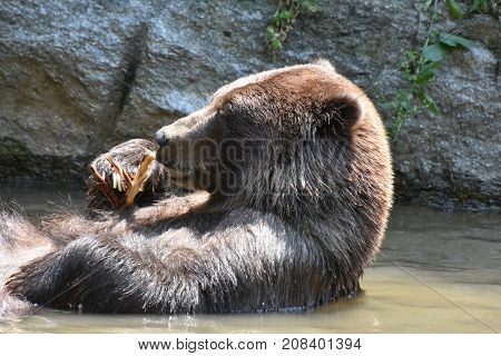 Wild brown bear bathing in the wild playing with a tree branch