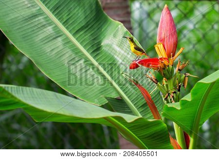 Tropical bird on banana flower. Olive-back sunbird female on exotic plant. Exotic nature photo for wallpaper or background. Small yellow bird with blue chest. Nectar drinking bird. Tropical fauna