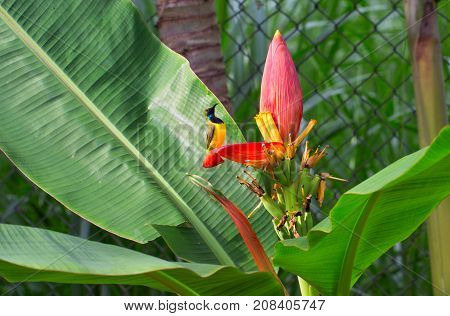 Tropical bird sings on banana flower. Olive-back sunbird male on exotic plant. Exotic nature photo for wallpaper or background. Small yellow bird with blue chest. Nectar drinking bird. Tropical fauna