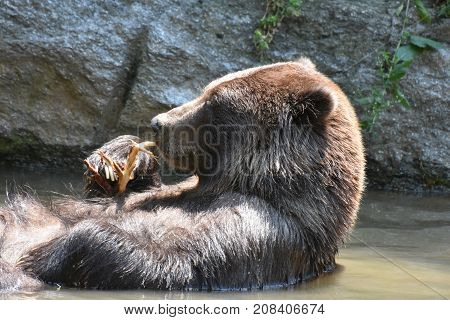 Wild brown peninsular grizzly floating on its back taking a bath