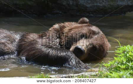 Side view of a wild silvertip grizzly floating on its side