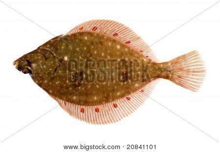 Plaice Fish