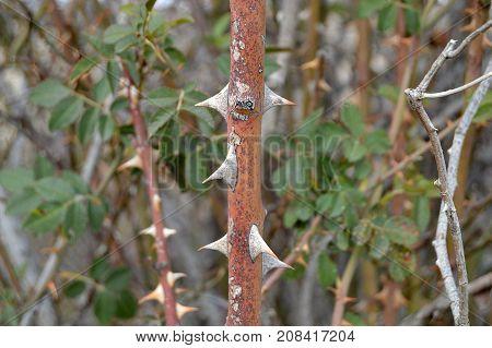 rosehip tree, spiky rosehip tree, spiky spikes of rosehip tree,