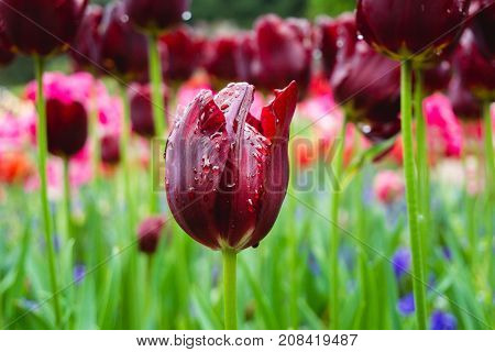 Close-up of a beautiful Red Tulip after the Rain. View on a wonderful Red Tulip with Raindrops. Garden Flowers. Blooming Flowers. Flower and Nature Backgrounds.