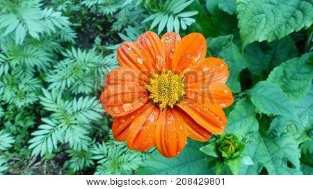 Una hermosa flore de pétalos naranja con gotas de lluvia.