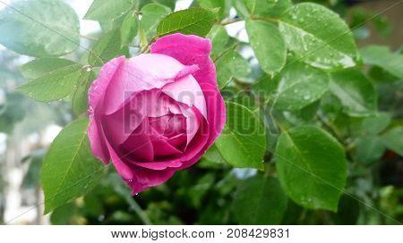 Hermosa rosa color rosado con gotas de rocío
