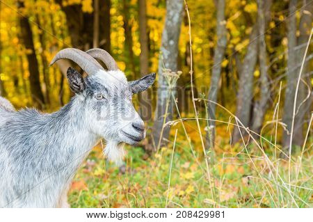 Portrait Of A Horned Goat Closeup On The Background Of Autumn Forest