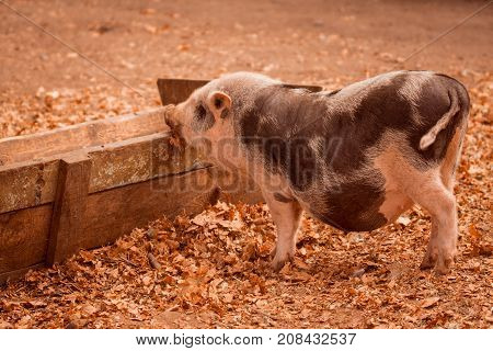 sweet pig has put a nose on a wooden trough it costs on the fallen autumn foliage