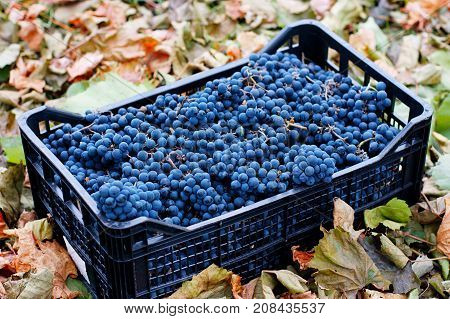 Blue Grapes, Background Of Freshly Picked Grapes.., Wine Grapes. Dark Wine Grapes Background, Dark G