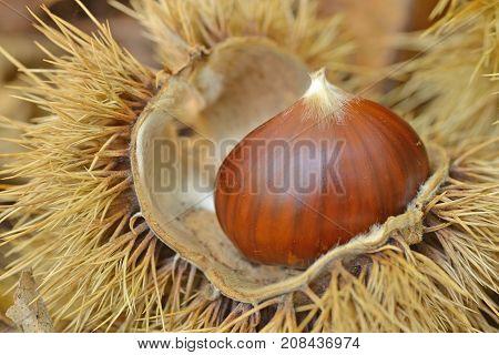 Chestnut in chestnut bur - macro photography