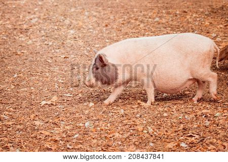 domestic pig runs with the fallen leaf on the nose very nice