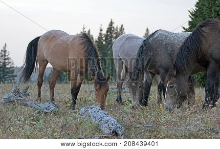 4 wild horses grazing on dry grass next to dead wood logs in the Pryor Mountains Wild Horse Range in Montana United States