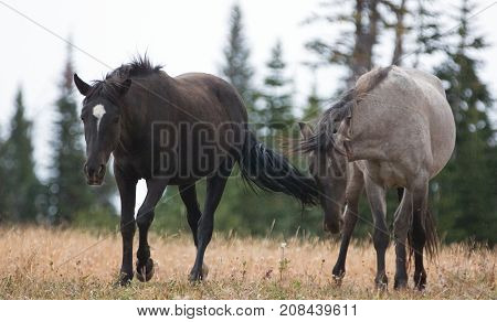 Wild Horses in Montana United States - Young Black stallion and young Gray Grulla stallion in the Pryor Mountains Wild Horse Range