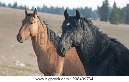 Wild Horses in Montana United States - Black stallion with his Dun mare in the Pryor Mountains Wild Horse Range